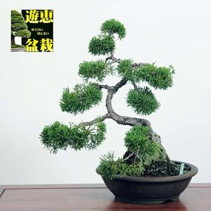 小品盆栽:真柏【現品】*☆特典付き☆【送料無料】|y-bonsai