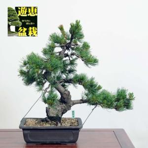 中品盆栽:五葉松【現品】*☆特典付き☆ Goyoumatsu【送料無料】|y-bonsai