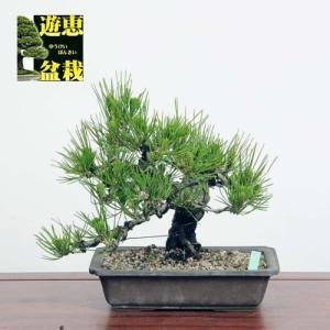 中品盆栽:黒松【現品】*☆特典付き☆ Kuromatsu【送料無料】|y-bonsai