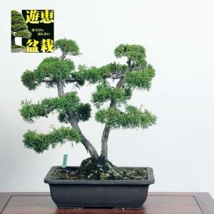 中品盆栽:真柏【現品】*☆特典付き☆【送料無料】|y-bonsai