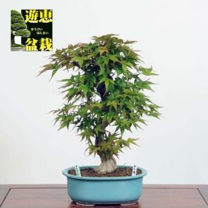 盆栽:紅千鳥もみじ(ベニチドリモミジ)【現品】*☆特典付き☆Benichidori-Momiji|y-bonsai
