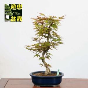 盆栽:紅千鳥もみじ(ベニチドリモミジ)(現品)*(特典付き)紅葉 鉢植え Benichidori-Momiji|y-bonsai