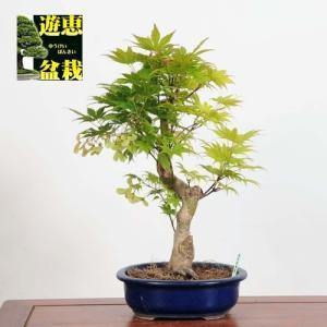 盆栽:黄八丈もみじ(現品)*(特典付き) 紅葉鉢 植えKIhachijyou-Momiji|y-bonsai