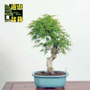 盆栽:青竜もみじ(現品)*(特典付き)清龍モミジ紅葉Seiryu-Momiji|y-bonsai