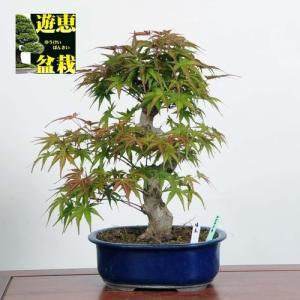 盆栽:清玄もみじ(現品)*(特典付き)セイゲンモミジ紅葉Seigen-Momiji|y-bonsai