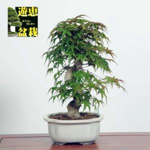 盆栽:出猩々もみじ(現品)*(特典付き)モミジ紅葉Momiji|y-bonsai
