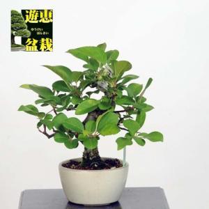 小品盆栽:深山かいどう【現品】*☆特典付き☆【送料無料】|y-bonsai