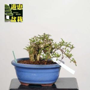 小品盆栽:枸杞(クコ)くこ【現品】*☆特典付き☆【送料無料】|y-bonsai