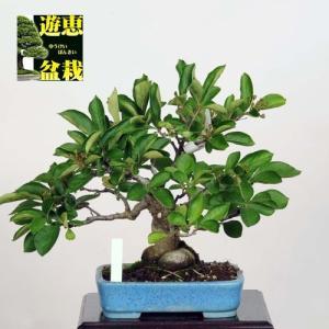 小品盆栽:かまつか(現品)*(特典付き)Kamatsuka|y-bonsai