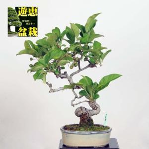 小品盆栽:深山かいどう(現品)*(特典付き)|y-bonsai
