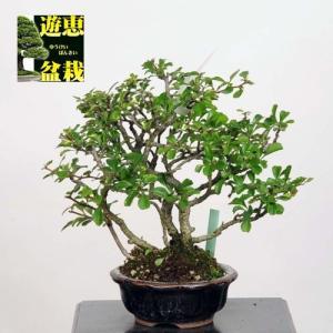 小品盆栽:長寿梅(チョウジュバイ) (現品)*Cyoujyubai*(特典付き)|y-bonsai