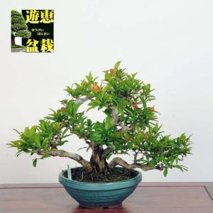 小品盆栽:ざくろ*Zakuro(現品)*(特典付き)Punica granatum|y-bonsai