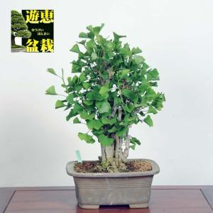 中品盆栽:乳いちょう(現品)*☆特典付き☆乳銀杏|y-bonsai