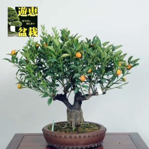 大品盆栽:キンカン(金柑)【現品】*☆特典付き☆【大型ヤマト便配送】【送料無料】|y-bonsai