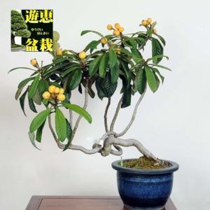 大品盆栽:枇杷(びわ)【現品】*【大型ヤマト便配送】【送料無料】|y-bonsai