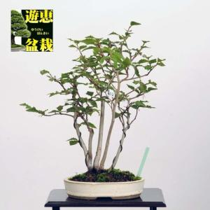 中品盆栽:富士ぶな寄せ植え【現品】*【送料無料】|y-bonsai