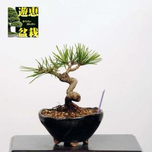 ミニ盆栽:三河黒松【現品】*【送料無料】|y-bonsai