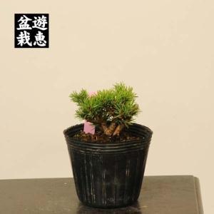 盆栽素材苗:五葉松・明星*Myojyo 現品|y-bonsai
