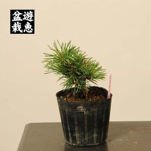 盆栽素材苗:五葉松・明星【現品】*Myojyo