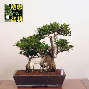中品盆栽:柊(ヒイラギ)【現品】*【送料無料】|y-bonsai