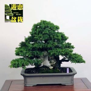中品盆栽:杜松(としょう)【現品】*【大型ヤマト便配送】 【送料無料】|y-bonsai