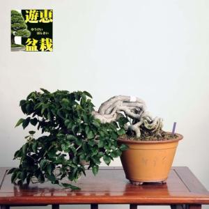 中品盆栽:いわしで【現品】*【送料無料】|y-bonsai