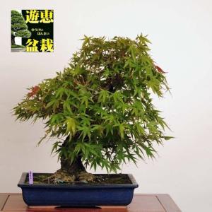 中品盆栽:荒皮もみじ【現品】*【送料無料】【大型ヤマト便配送】|y-bonsai