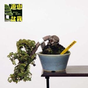 小品盆栽:磯ざんしょ(磯山椒)【現品】* 【送料無料】|y-bonsai