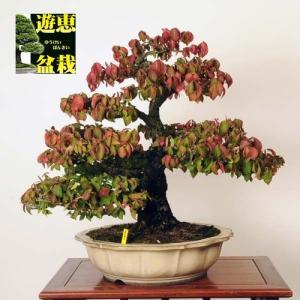 大品盆栽:錦木(にしきぎ)【現品】*【佐川便配送】Nishikigi|y-bonsai