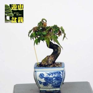 小品盆栽:楓(かえで・カエデ)【現品】*Kaede 【送料無料】