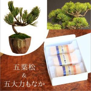 遅れてごめんね 敬老の日 ミニ盆栽:五葉松&最中(もなか)のスイーツセット*祝い ギフト gift 御祝 プレゼントにも|y-bonsai