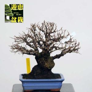 小品盆栽:楡欅(ニレケヤキ・けやき)【現品】*Keyaki【送料無料】|y-bonsai