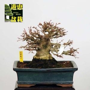小品盆栽:山もみじ【現品】*【送料無料】|y-bonsai