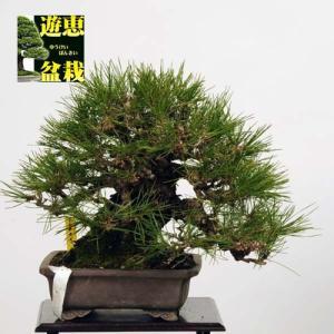 小品盆栽:赤松(アカマツ)【現】*Akamatsu【送料無料】|y-bonsai