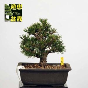 小品盆栽:黒松(千寿丸)【現品】*Kuromatsu【送料無料】|y-bonsai