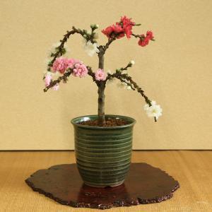盆栽:南京桃3色しだれ咲き*(春に開花)|y-bonsai