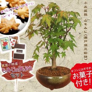 遅れてごめんね 敬老の日 小品盆栽:山もみじ(瀬戸焼小鉢)もみじの天ぷらセット* 秋 紅葉狩り 鉢植え ギフト gift プレゼントにも|y-bonsai