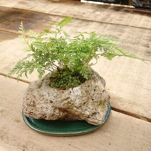 トキワシノブ石付(受け皿付)|y-bonsai