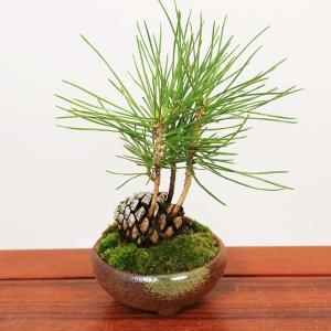 ミニ盆栽:松ぼっくりん(黒松)(瀬戸焼鉢三彩鉢)*  鉢植え 誕生日 祝 プレゼントにも y-bonsai