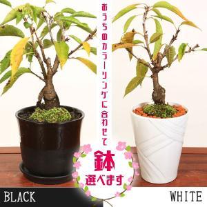 桜盆栽:鉢が選べる一才桜大(旭山桜)*さくら盆栽 2020年 春 開花予定|y-bonsai