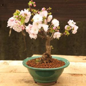 桜盆栽:八重桜(緑丸鉢)*2020年 春 開花予定|y-bonsai