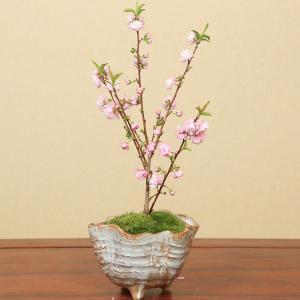 小品盆栽:庭桜(にわざくら 信楽焼変形鉢)*|y-bonsai