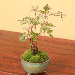 盆栽:斑入のぶどう*|y-bonsai