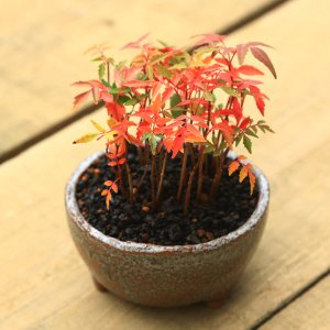 盆栽:はぜ寄せ植え* y-bonsai