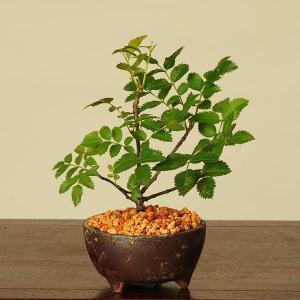盆栽:たかねななかまど*|y-bonsai