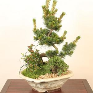 盆栽:五葉松・にれけやき寄せ植えE*祝 ギフト gift プレゼントにも|y-bonsai