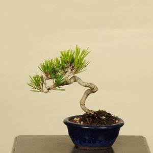 オススメ:ミニ黒松盆栽*|y-bonsai