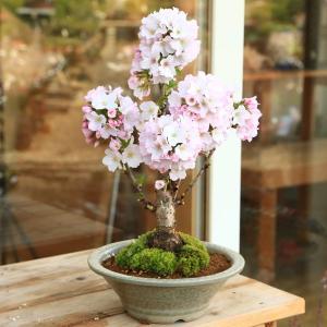 盆栽:御殿場桜(萬古焼白鉢)*2018年葉桜でお届けの商品画像