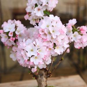 盆栽:御殿場桜(萬古焼白鉢)*2018年葉桜でお届けの詳細画像1