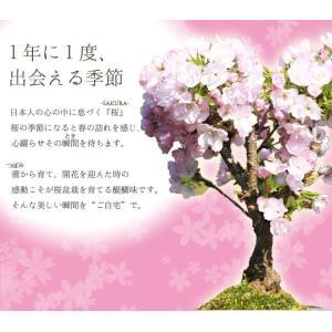 盆栽:御殿場桜(萬古焼白鉢)*2018年葉桜でお届けの詳細画像3